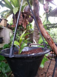 Bandura (Nepenthes) for sale