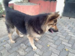 lion sheperd dog