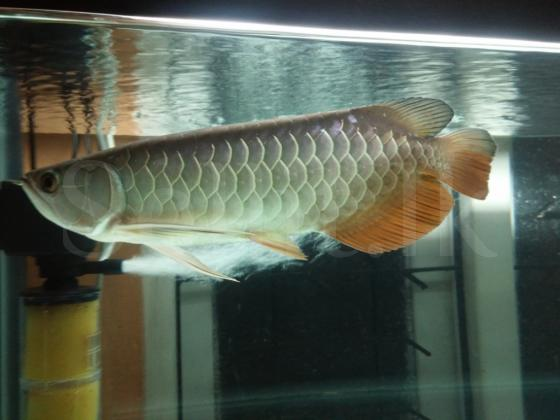 Red tail gold Arowana fish (RTG)