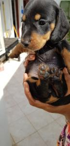 Dashund dogs for sale
