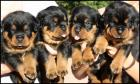 ROTTWEILER PUPPIES OF CHAMPION LITTER