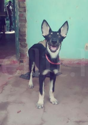 German sheperd male dog
