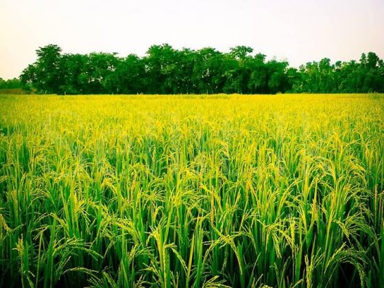 PADDY FIELD WITH LAND