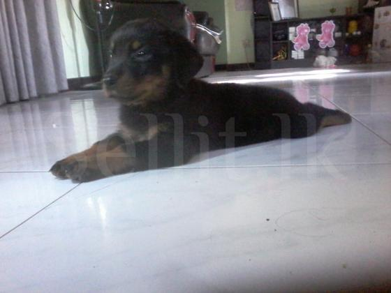 Rottweiler dogs for sale in Kadawatha