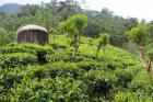 Tea land for sale in Galle