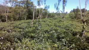 Rubber , Tea and Coconut Estate for sale in Baduraliya