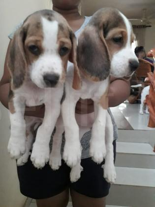 2 female beagle puppies for sale
