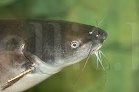 catfish for sale